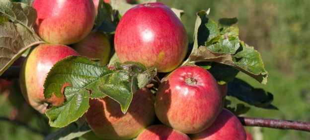 Apples in Llewellyns Orchard - Outside Dublin, Ireland
